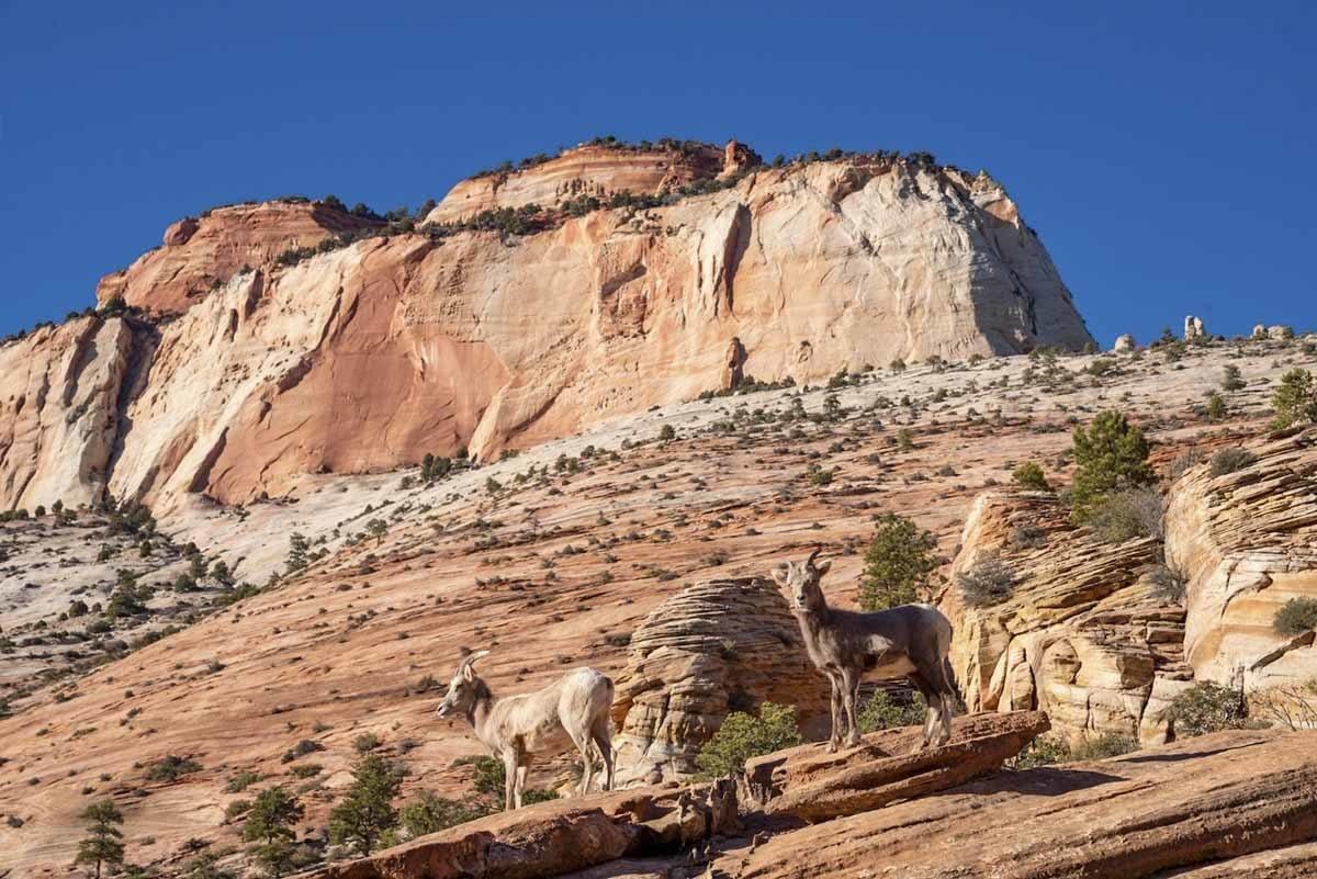 zion national park mountain goat