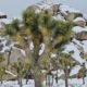 snow in Joshua Tree